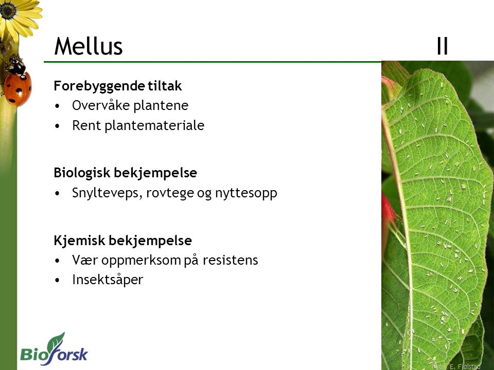 Mellus II Forebyggende tiltak Overvåke plantene Rent plantemateriale
