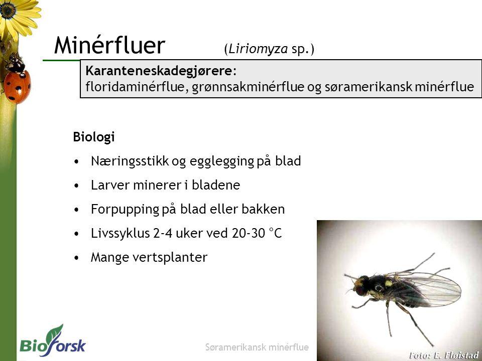 Minérfluer (Liriomyza sp.)