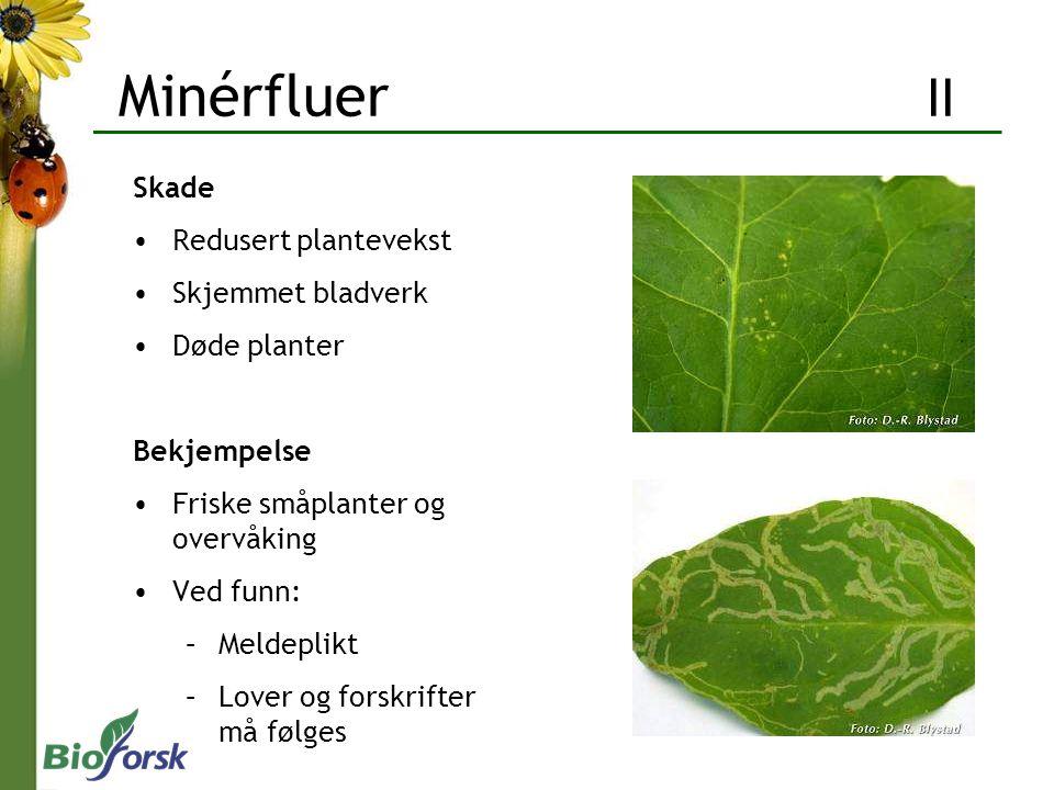 Minérfluer II Skade Redusert plantevekst Skjemmet bladverk