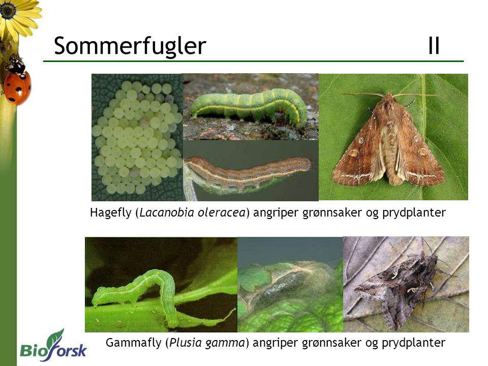 Sommerfugler II Hagefly (Lacanobia oleracea) angriper grønnsaker og prydplanter.