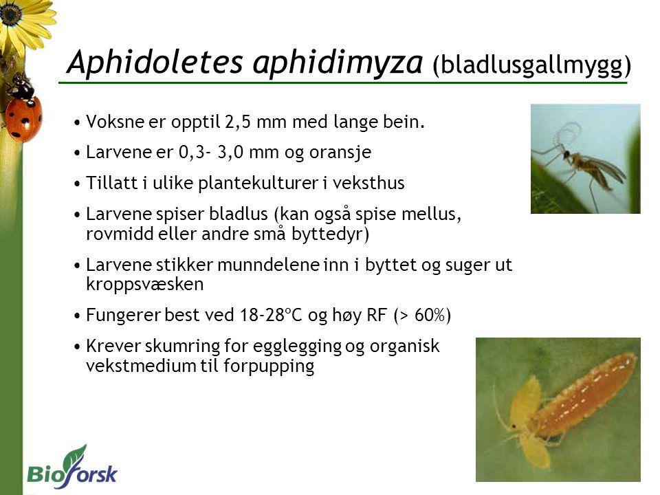 Aphidoletes aphidimyza (bladlusgallmygg)