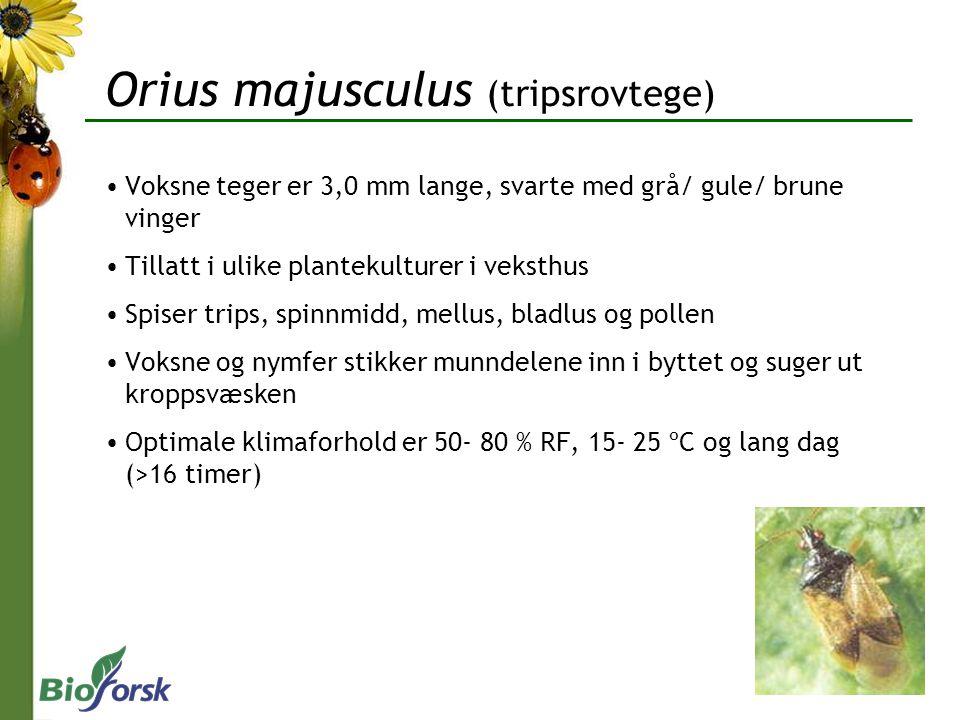 Orius majusculus (tripsrovtege)
