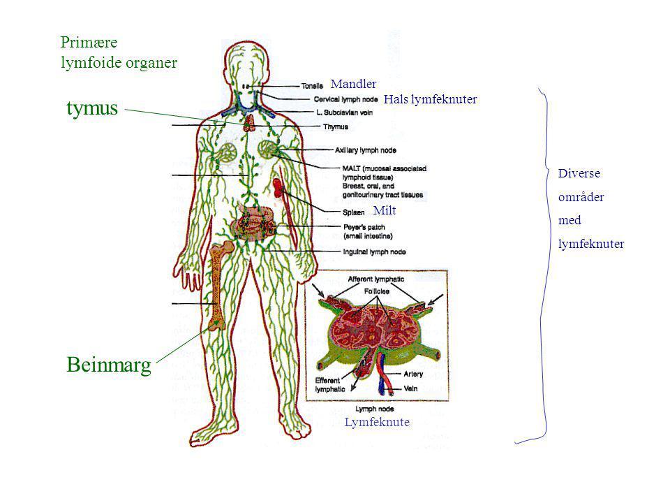 tymus Beinmarg Primære lymfoide organer Mandler Hals lymfeknuter