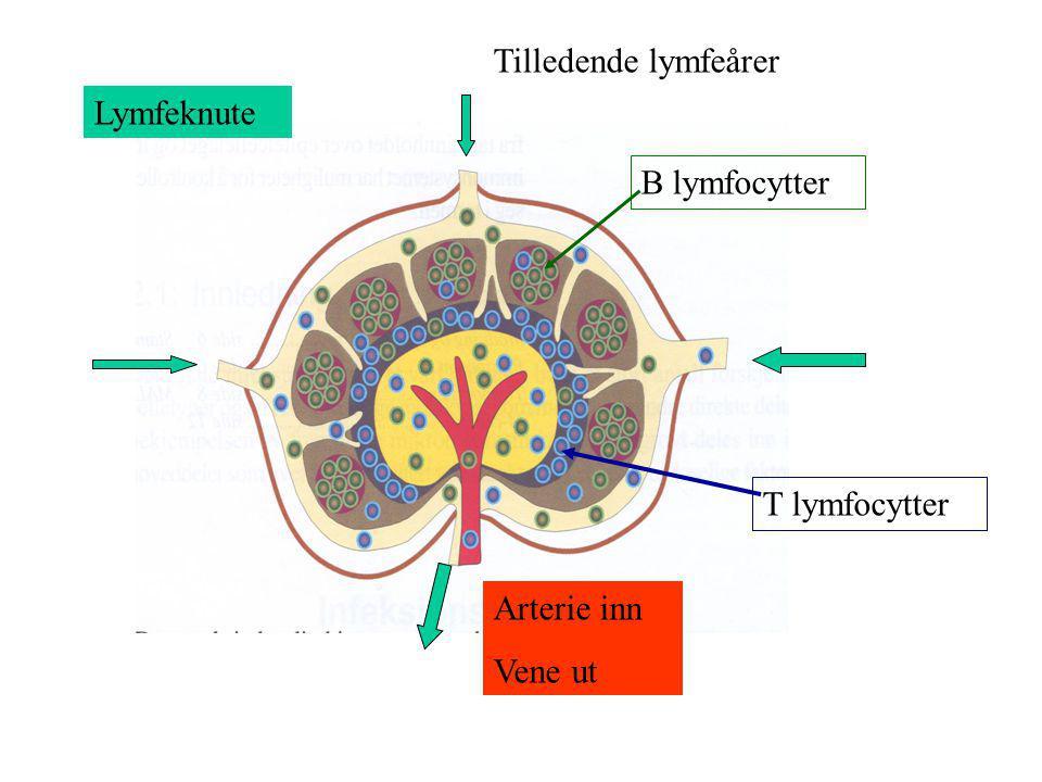 Tilledende lymfeårer Lymfeknute B lymfocytter T lymfocytter Arterie inn Vene ut