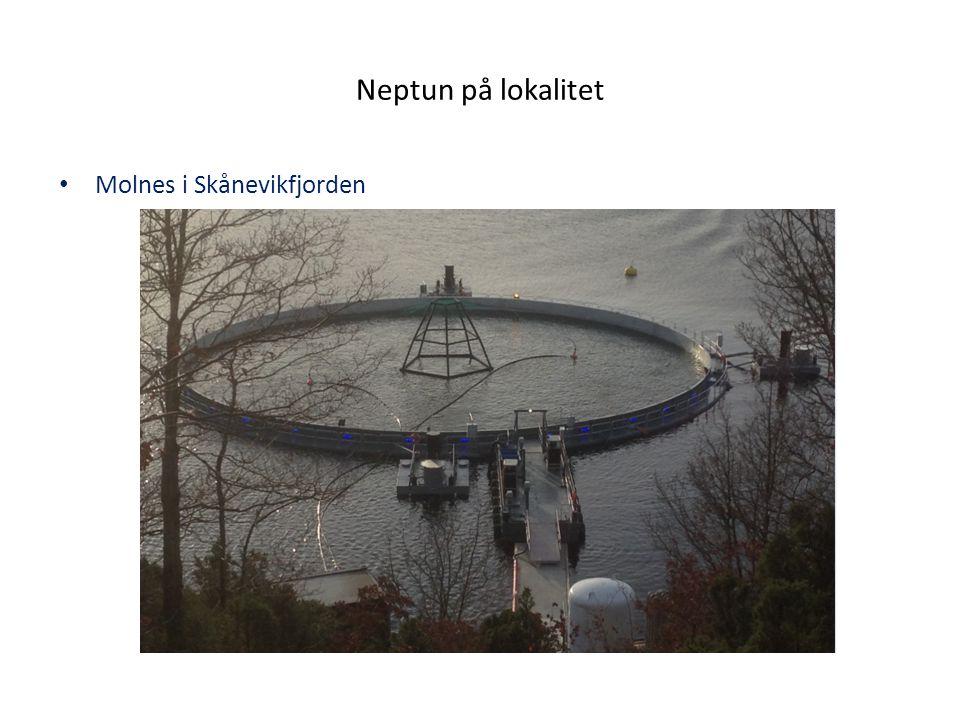 Neptun på lokalitet Molnes i Skånevikfjorden