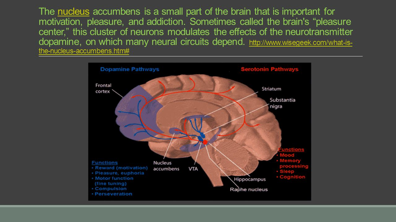 The nucleus accumbens is a small part of the brain that is important for motivation, pleasure, and addiction.