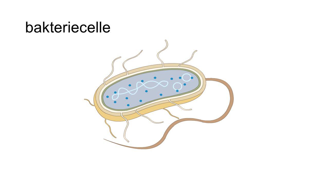 bakteriecelle