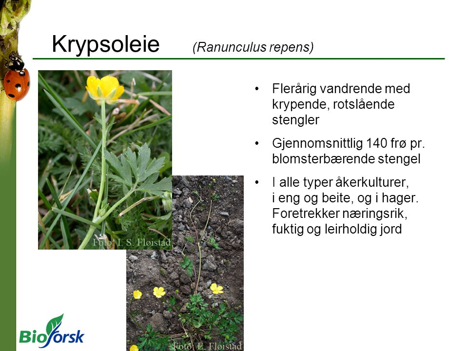 Krypsoleie (Ranunculus repens)