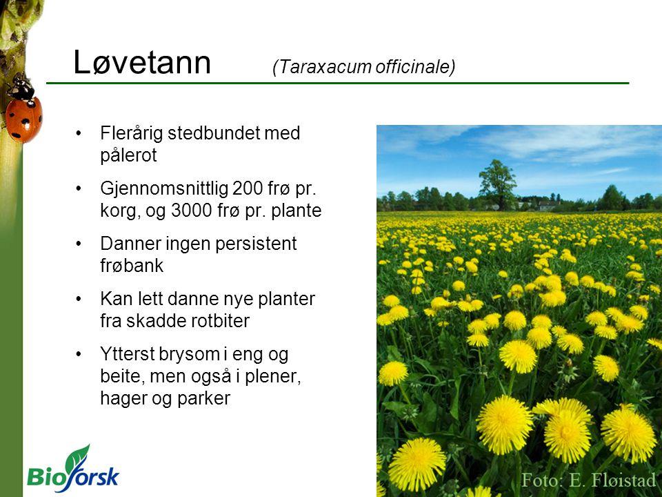 Løvetann (Taraxacum officinale)