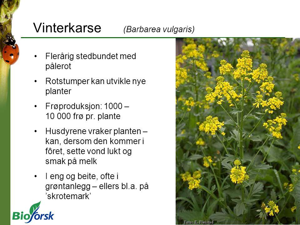 Vinterkarse (Barbarea vulgaris)
