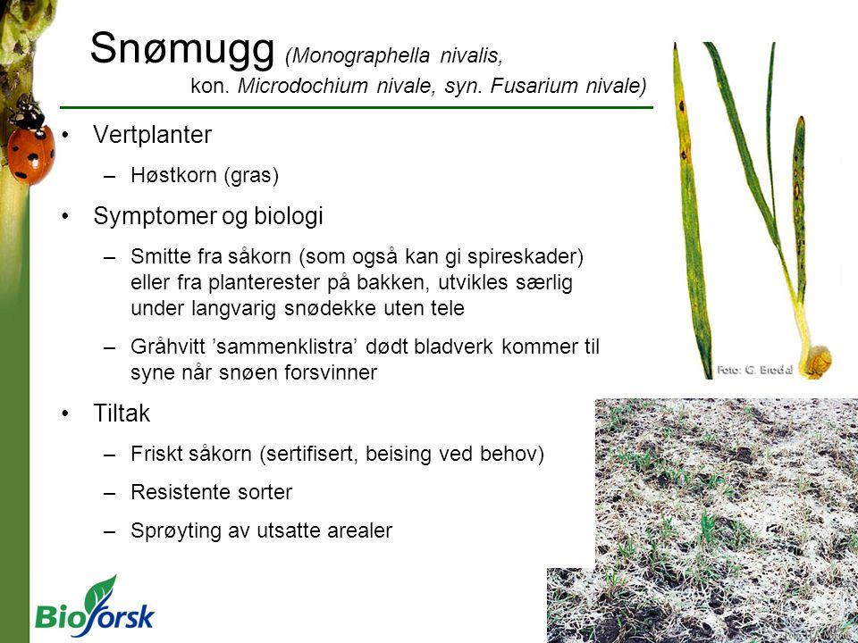 Snømugg (Monographella nivalis, kon. Microdochium nivale, syn