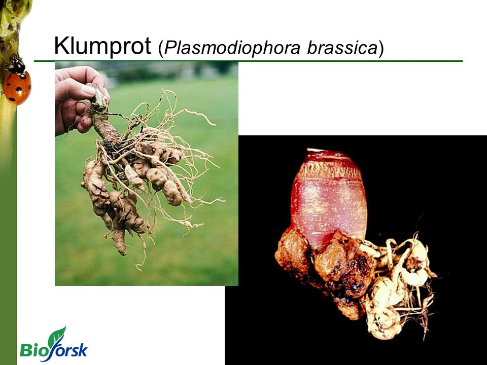 Klumprot (Plasmodiophora brassica)