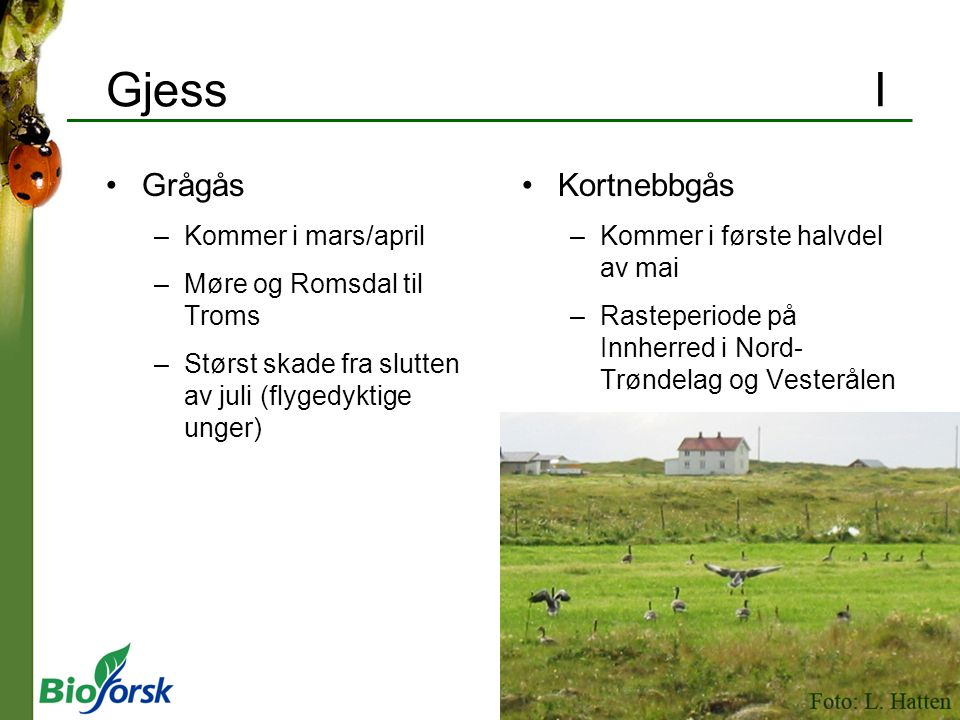 Gjess I Grågås Kortnebbgås Kommer i mars/april