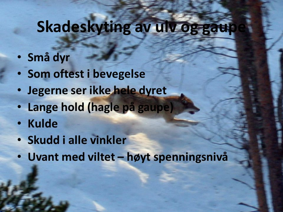 Skadeskyting av ulv og gaupe