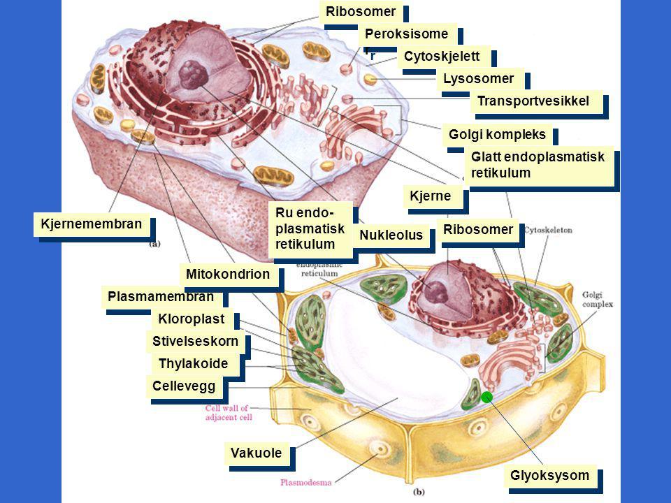 Ribosomer Peroksisomer. Cytoskjelett. Lysosomer. Transportvesikkel. Golgi kompleks. Glatt endoplasmatisk retikulum.