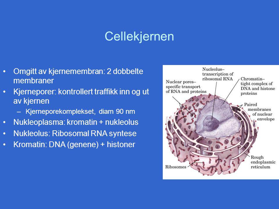Cellekjernen Omgitt av kjernemembran: 2 dobbelte membraner