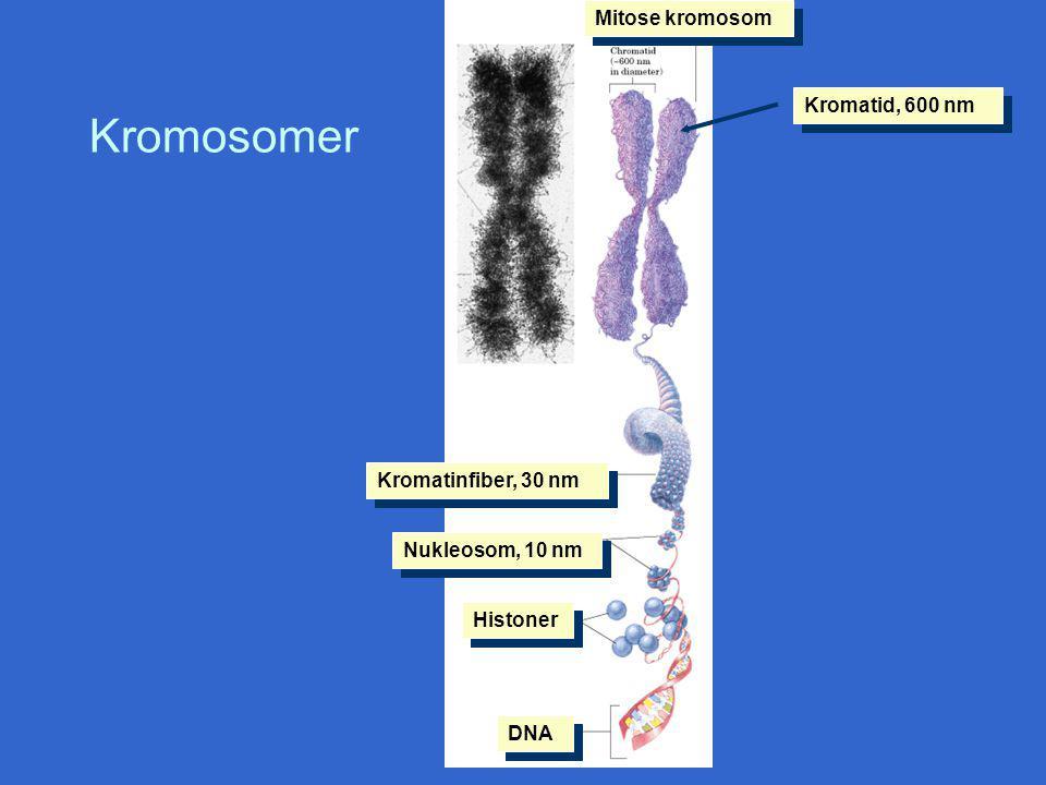 Kromosomer Mitose kromosom Kromatid, 600 nm Kromatinfiber, 30 nm