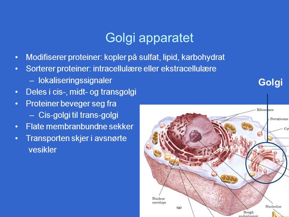 Golgi apparatet Modifiserer proteiner: kopler på sulfat, lipid, karbohydrat. Sorterer proteiner: intracellulære eller ekstracellulære.