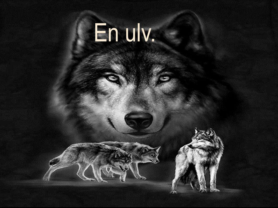 En ulv. En Ulv.