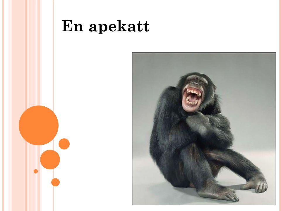 En apekatt