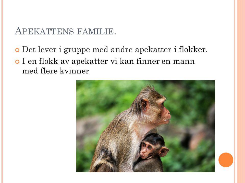 Apekattens familie. Det lever i gruppe med andre apekatter i flokker.