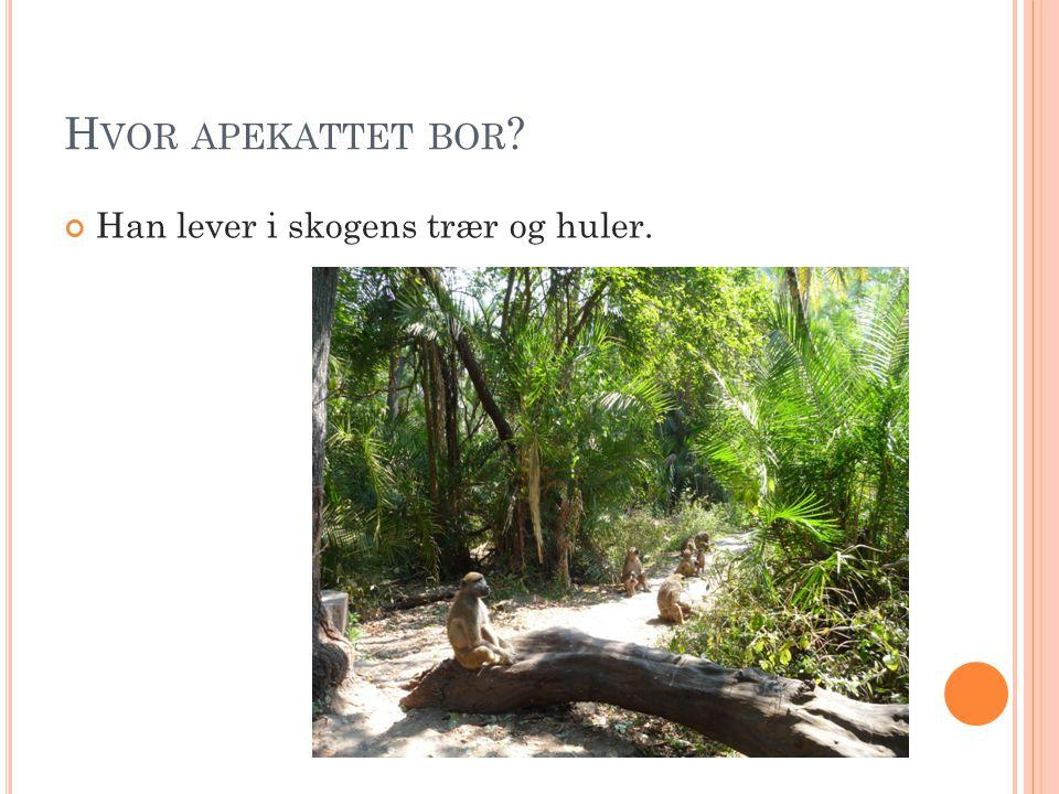 Hvor apekattet bor Han lever i skogens trær og huler.