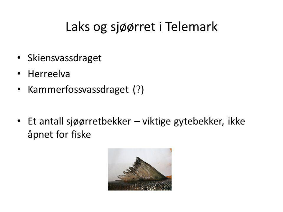 Laks og sjøørret i Telemark
