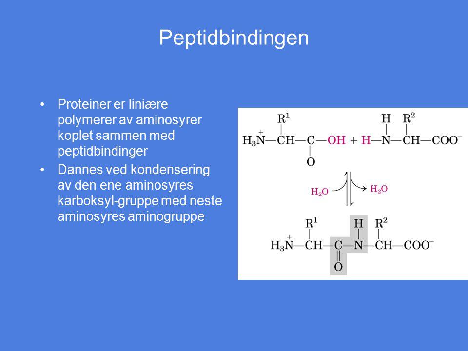 Peptidbindingen Proteiner er liniære polymerer av aminosyrer koplet sammen med peptidbindinger.