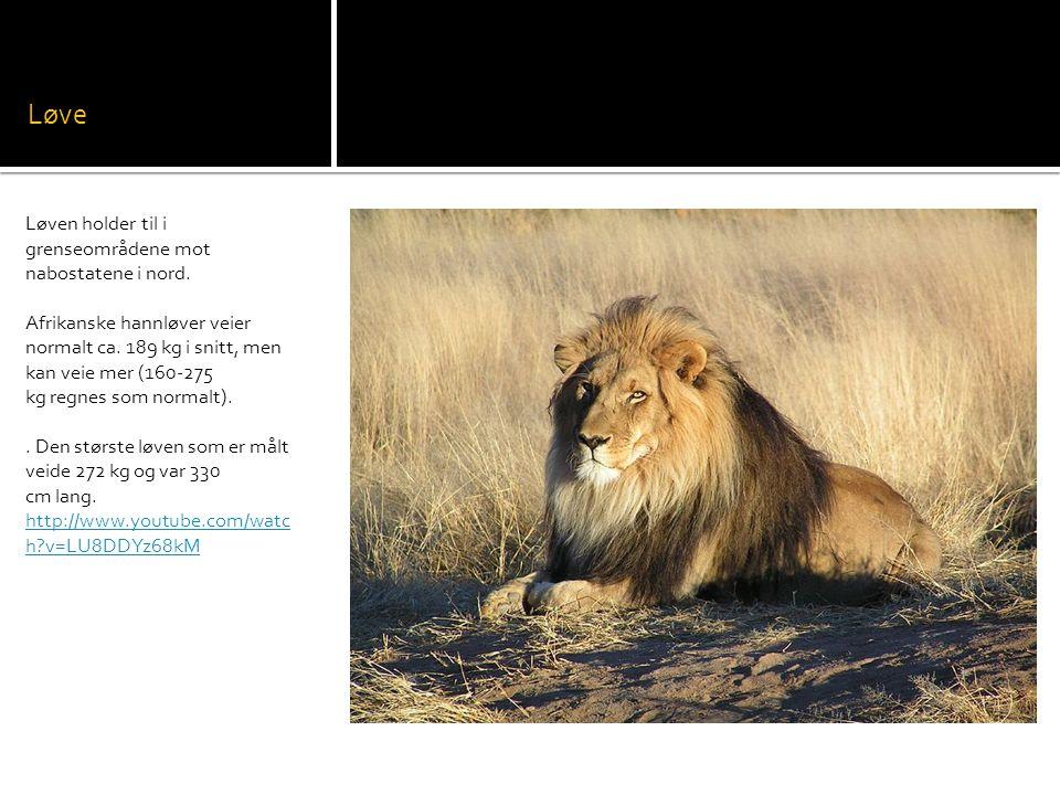 Løve Løven holder til i grenseområdene mot nabostatene i nord.