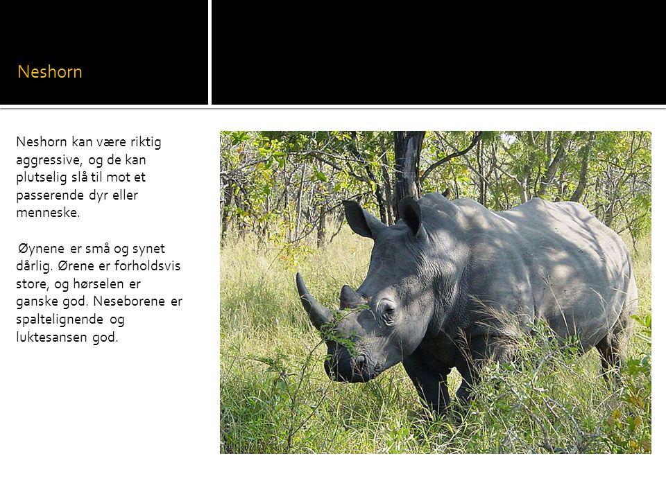 Neshorn Neshorn kan være riktig aggressive, og de kan plutselig slå til mot et passerende dyr eller menneske.