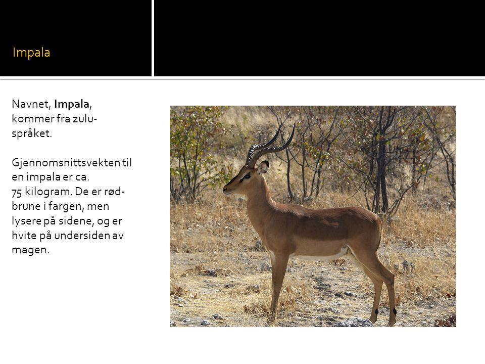 Impala Navnet, Impala, kommer fra zulu-språket.
