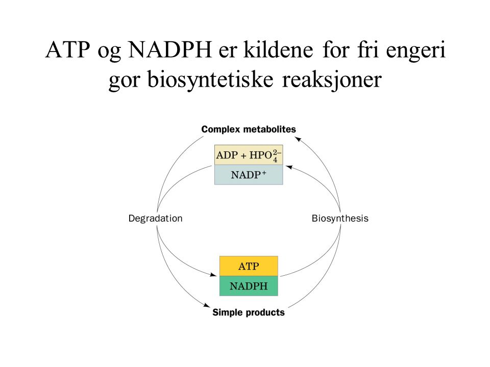 ATP og NADPH er kildene for fri engeri gor biosyntetiske reaksjoner
