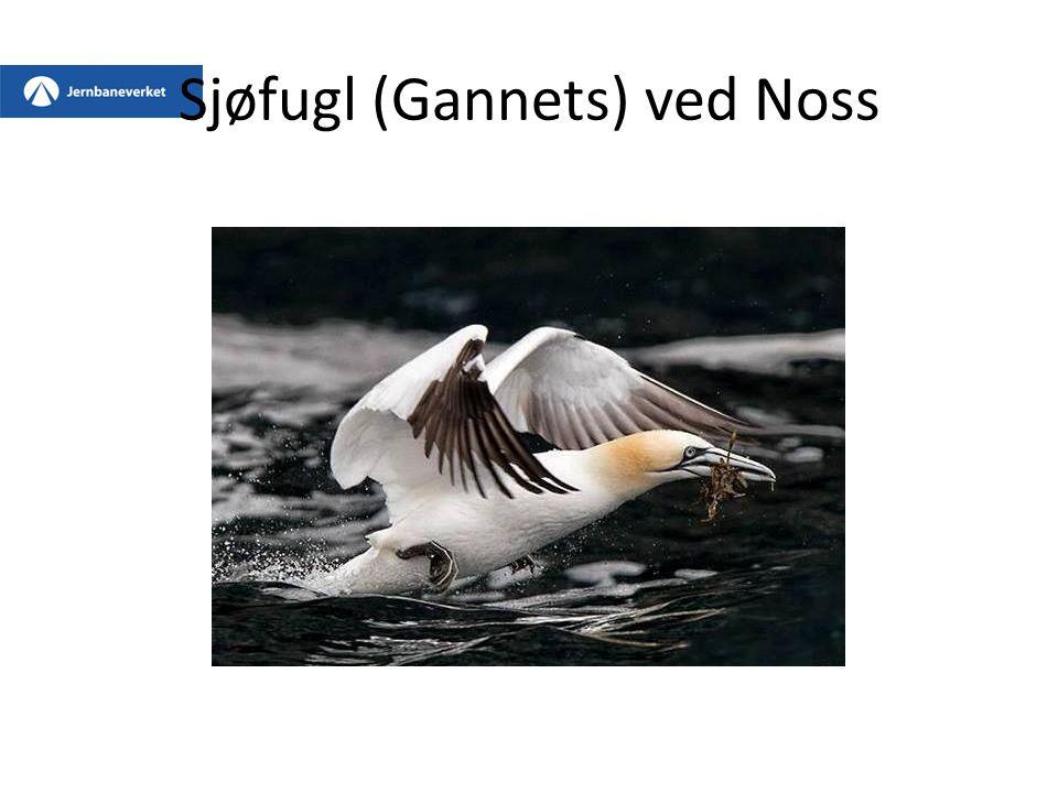 Sjøfugl (Gannets) ved Noss