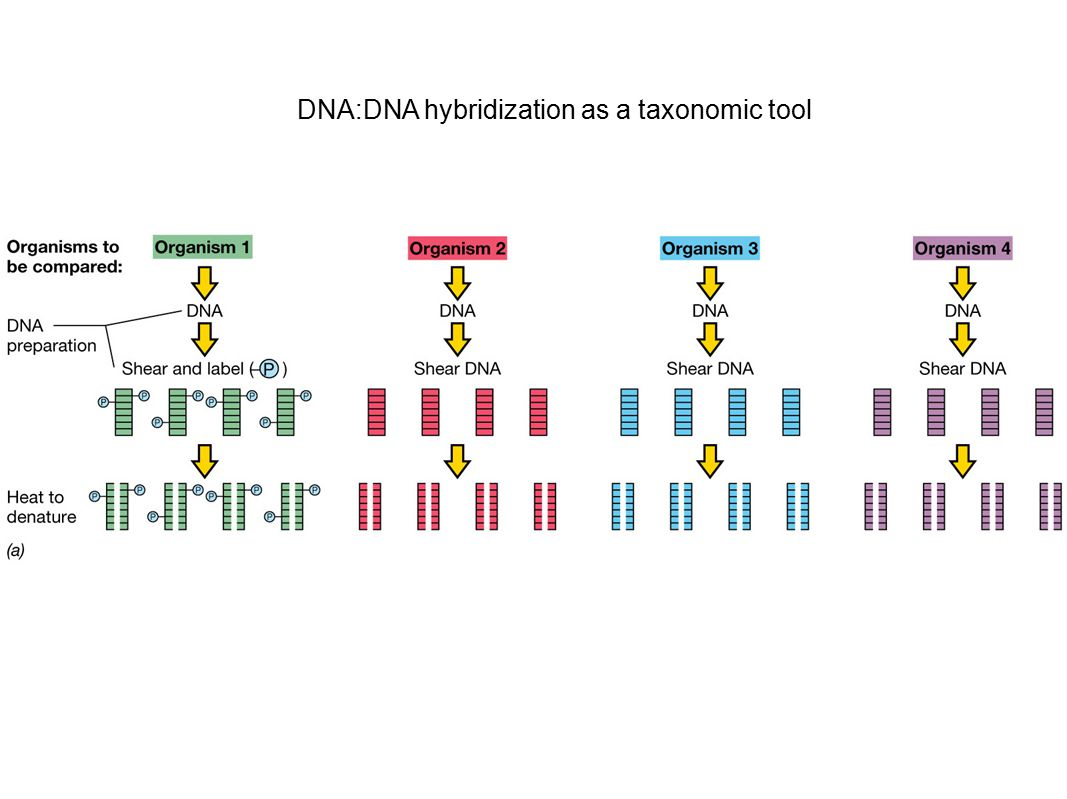 DNA:DNA hybridization as a taxonomic tool