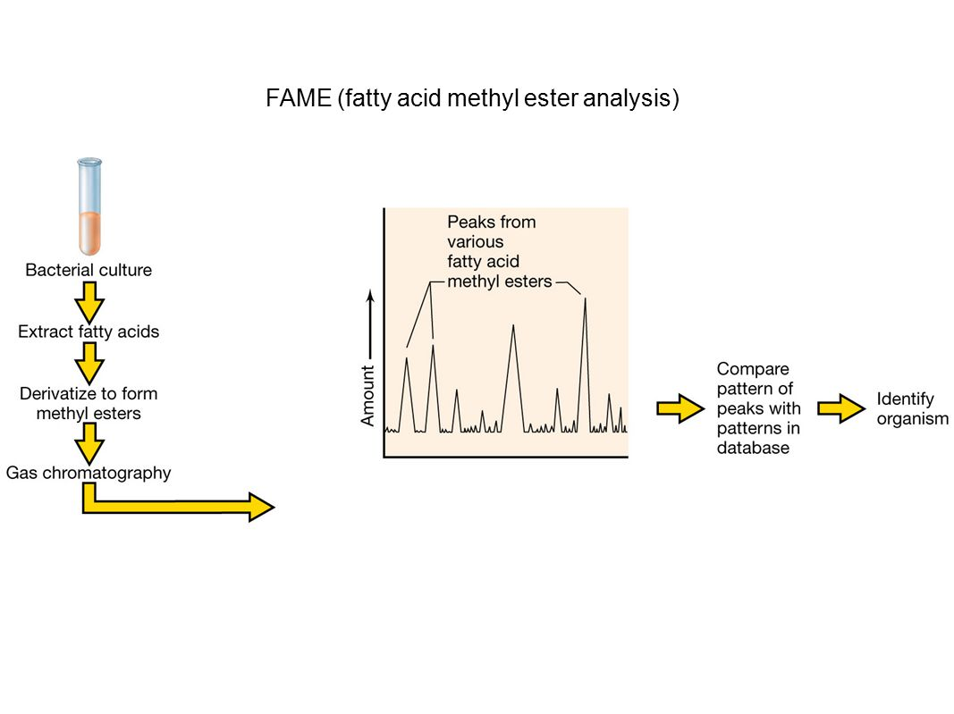 FAME (fatty acid methyl ester analysis)