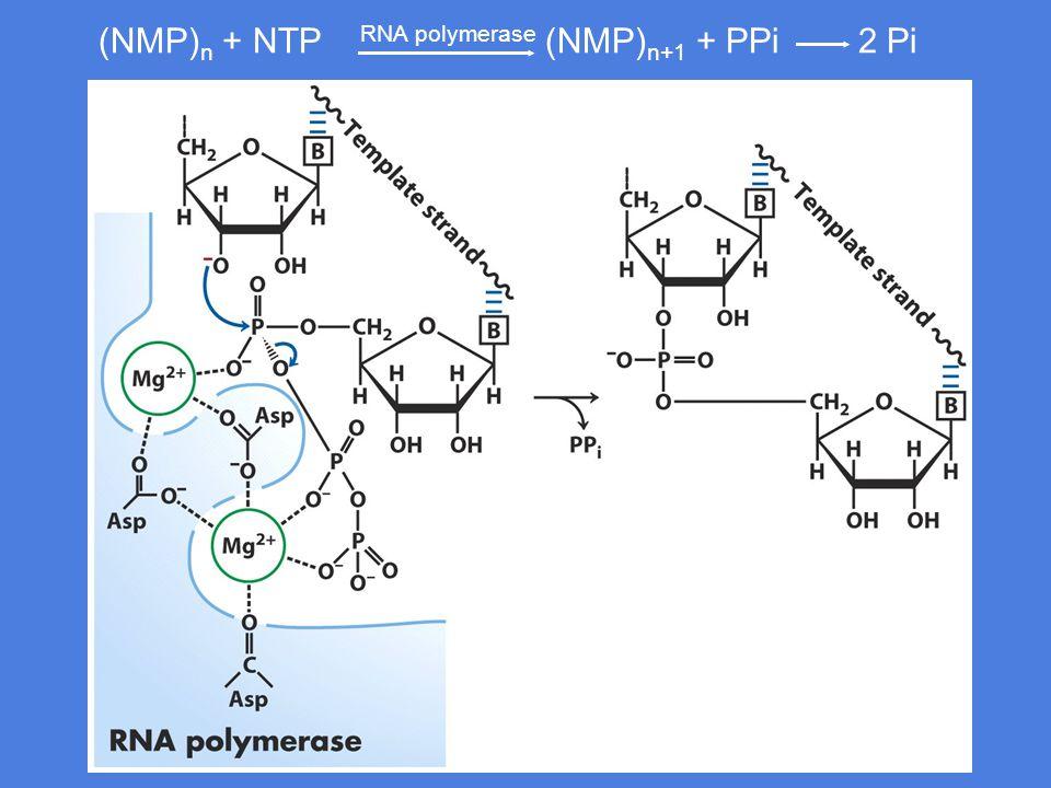 (NMP)n + NTP RNA polymerase (NMP)n+1 + PPi 2 Pi