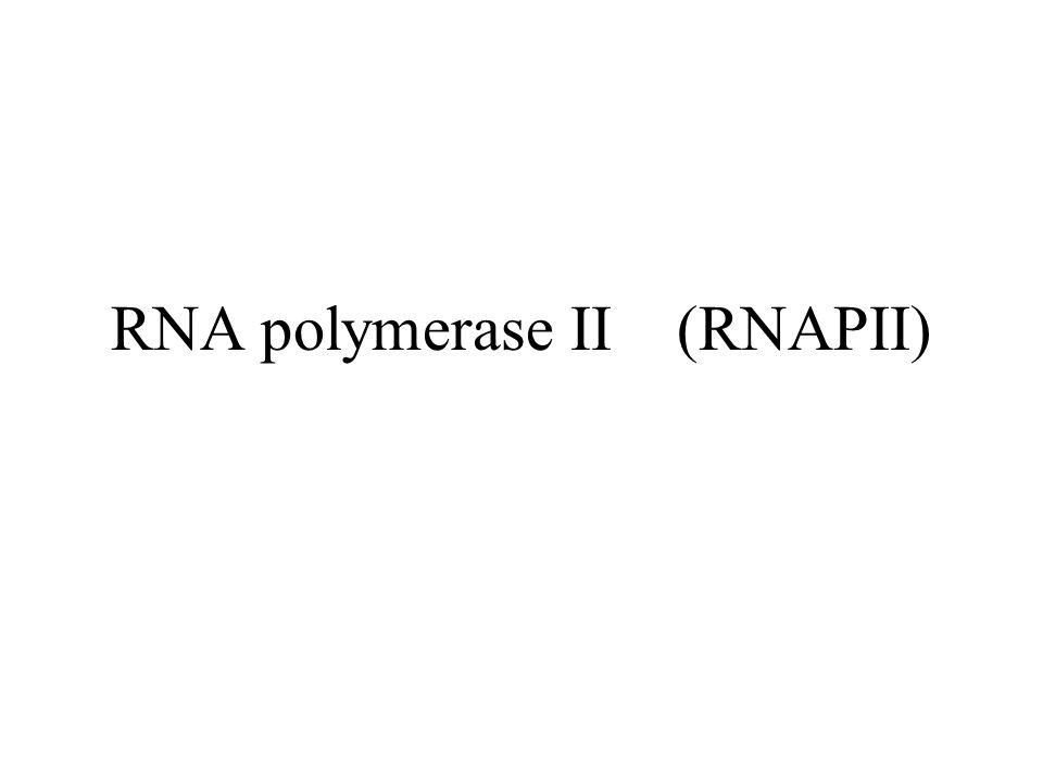 RNA polymerase II (RNAPII)