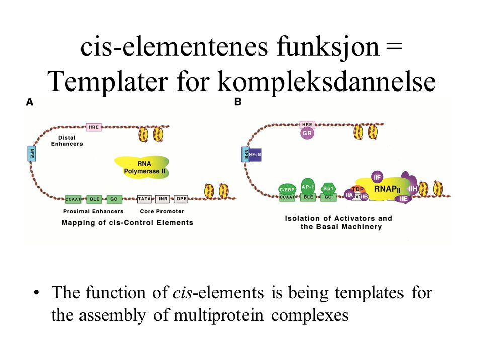 cis-elementenes funksjon = Templater for kompleksdannelse