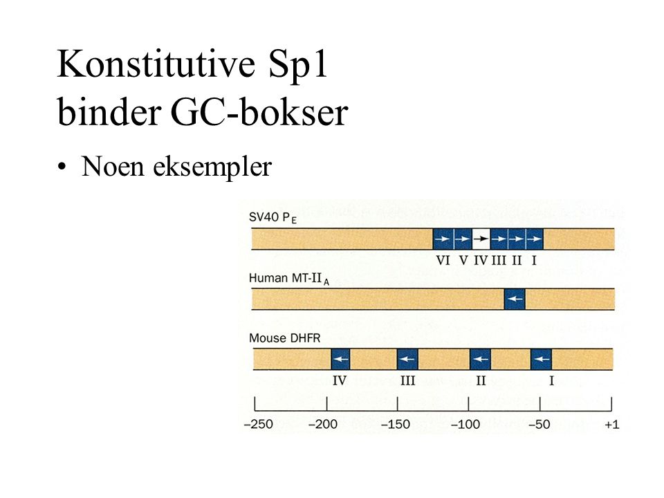 Konstitutive Sp1 binder GC-bokser