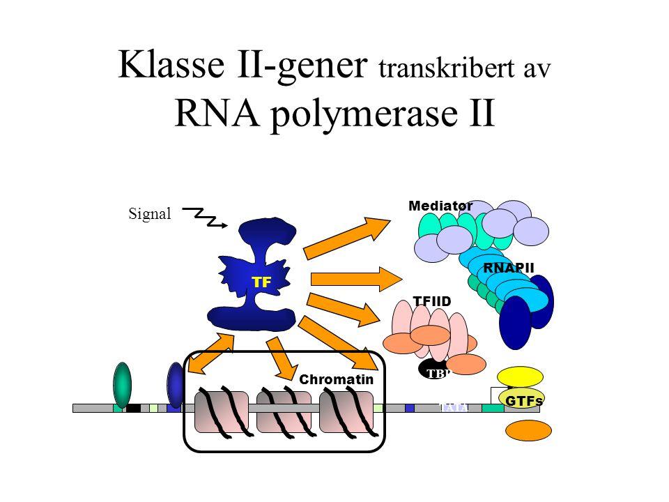 Klasse II-gener transkribert av RNA polymerase II