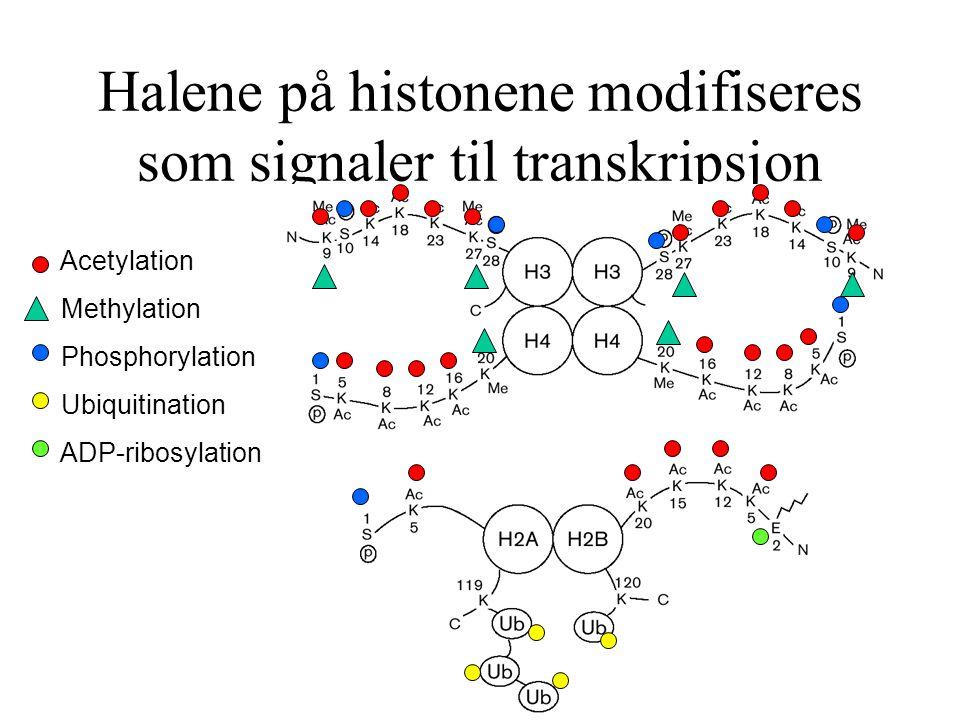 Halene på histonene modifiseres som signaler til transkripsjon
