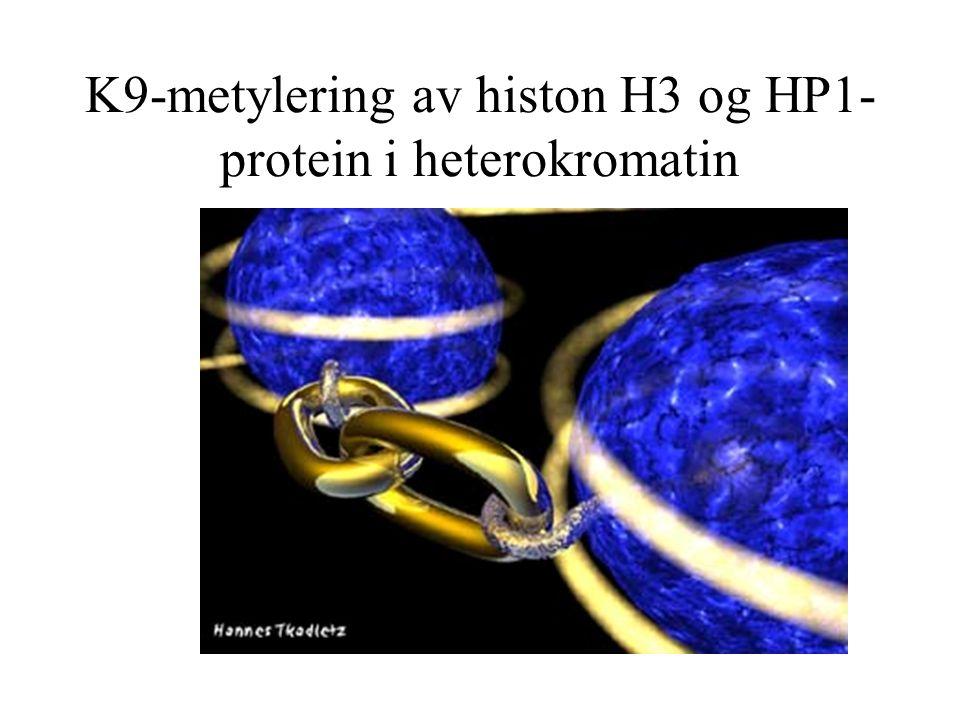 K9-metylering av histon H3 og HP1-protein i heterokromatin