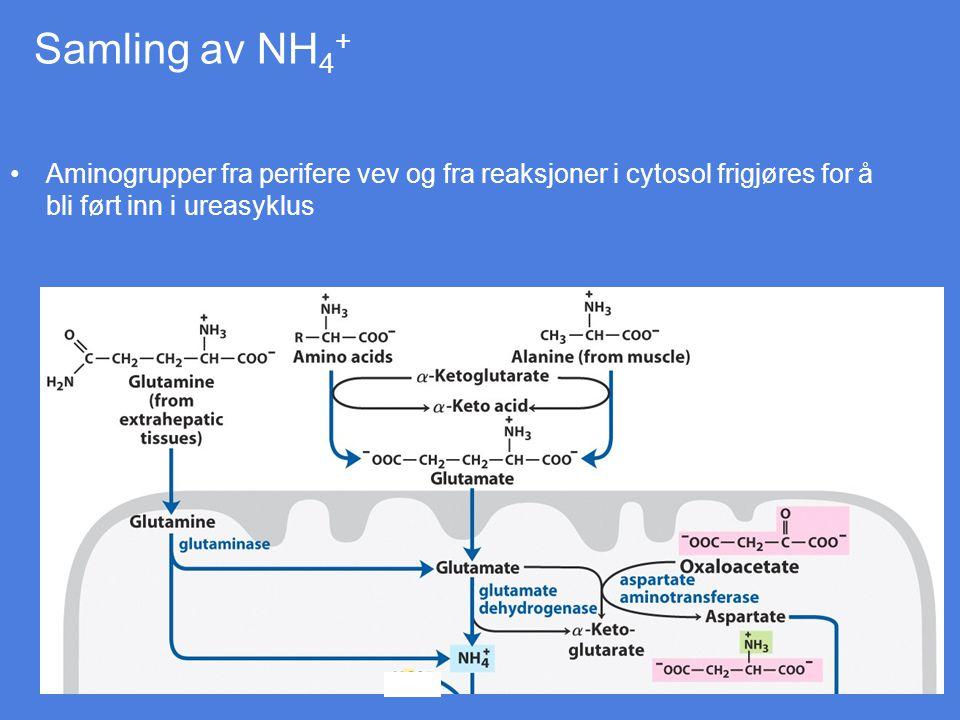 aminosyrenedbryting og ureaproduksjon