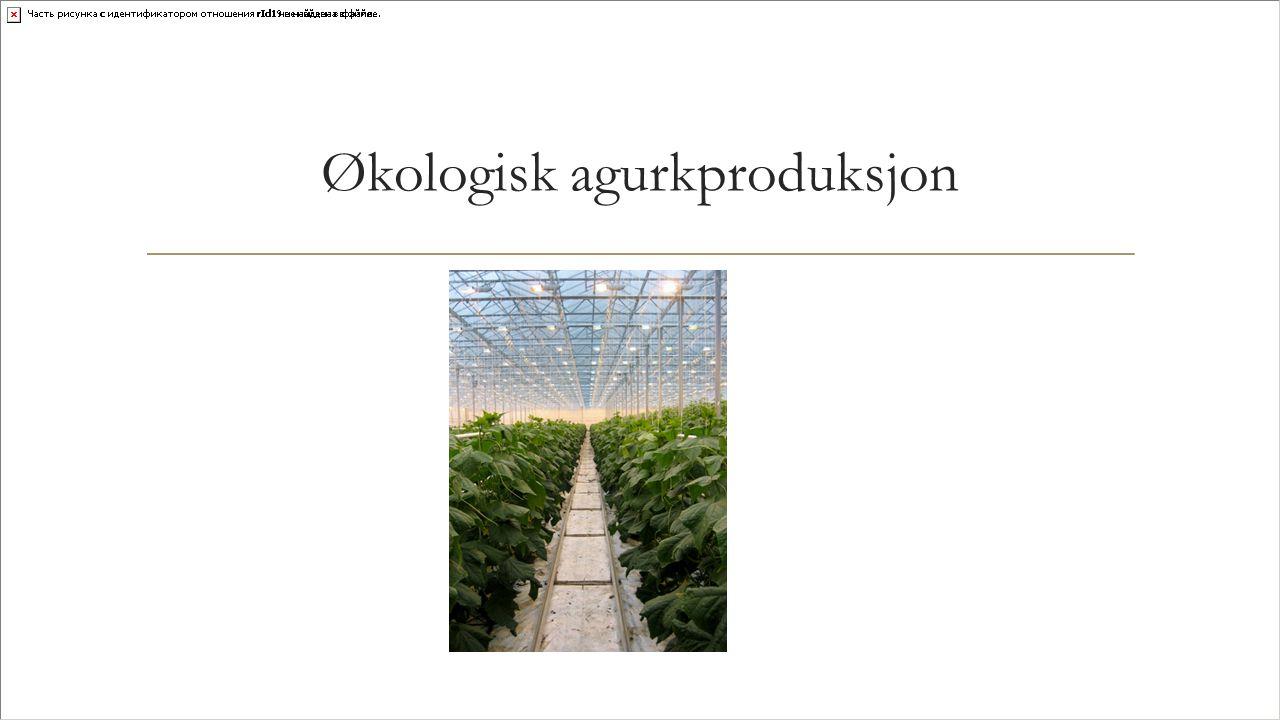 Økologisk agurkproduksjon