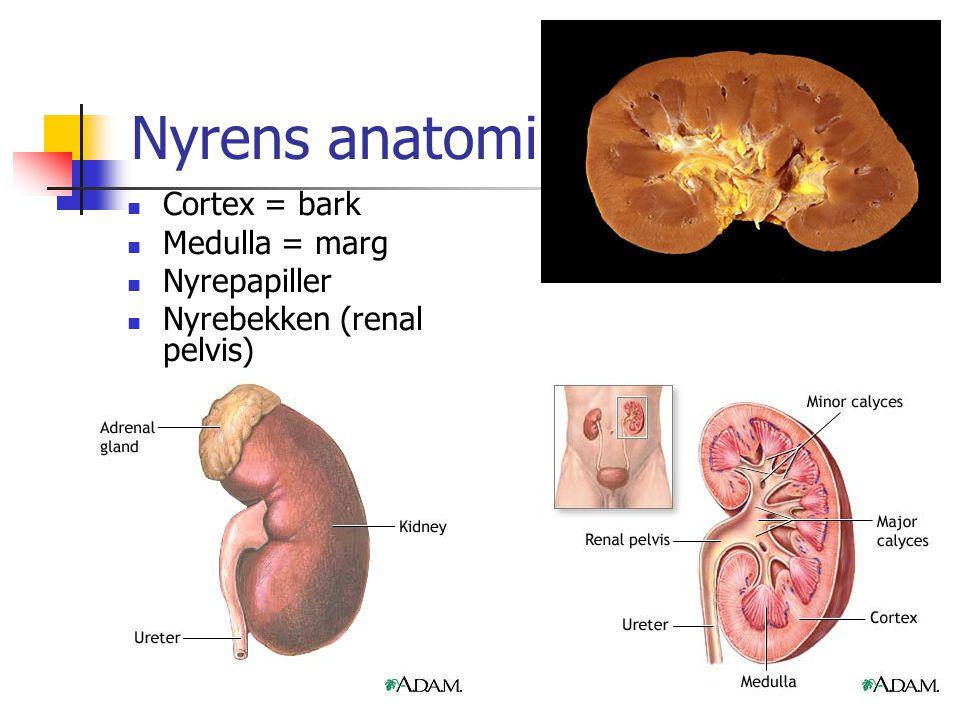 Nyrens anatomi Cortex = bark Medulla = marg Nyrepapiller
