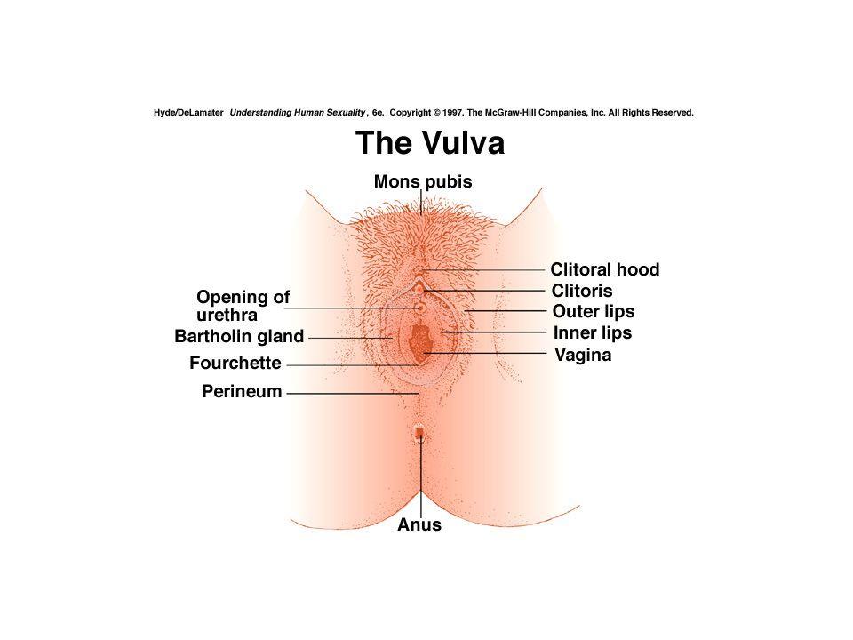Kvinnens ytre kjønnsorganer – vulva