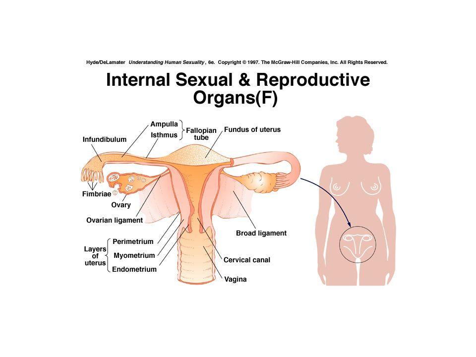 Indre kjønnsorganer: Vagina: Muskelrør kledd med flerlaget plateepitel. Kjertler som danner glykogen som omdannes til melkesyre.