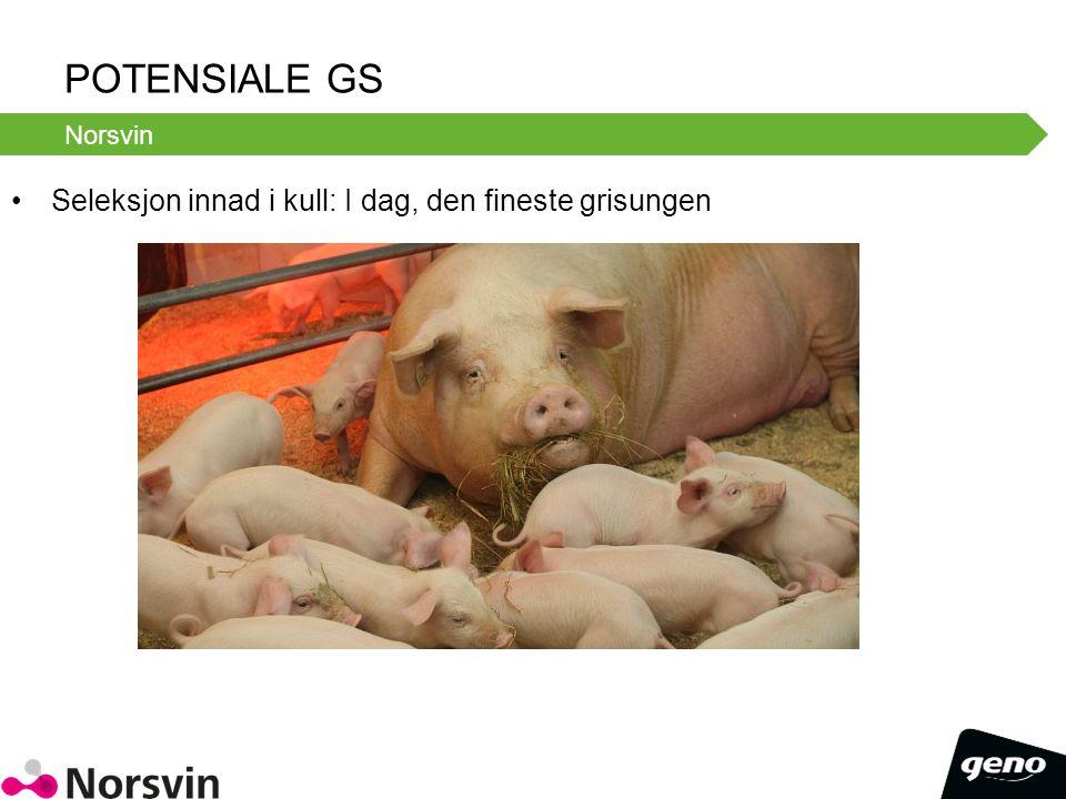 Potensiale GS Seleksjon innad i kull: I dag, den fineste grisungen