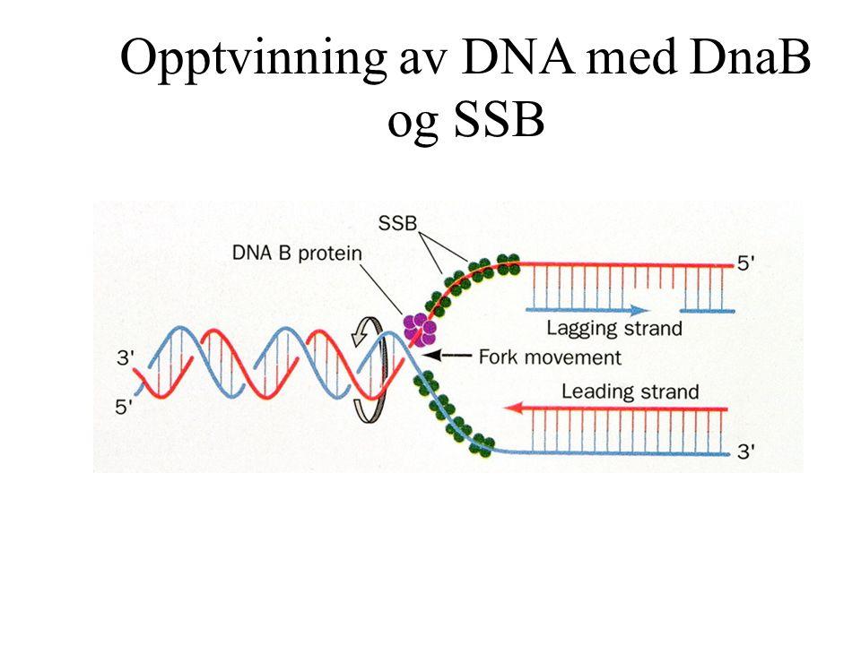 Opptvinning av DNA med DnaB og SSB