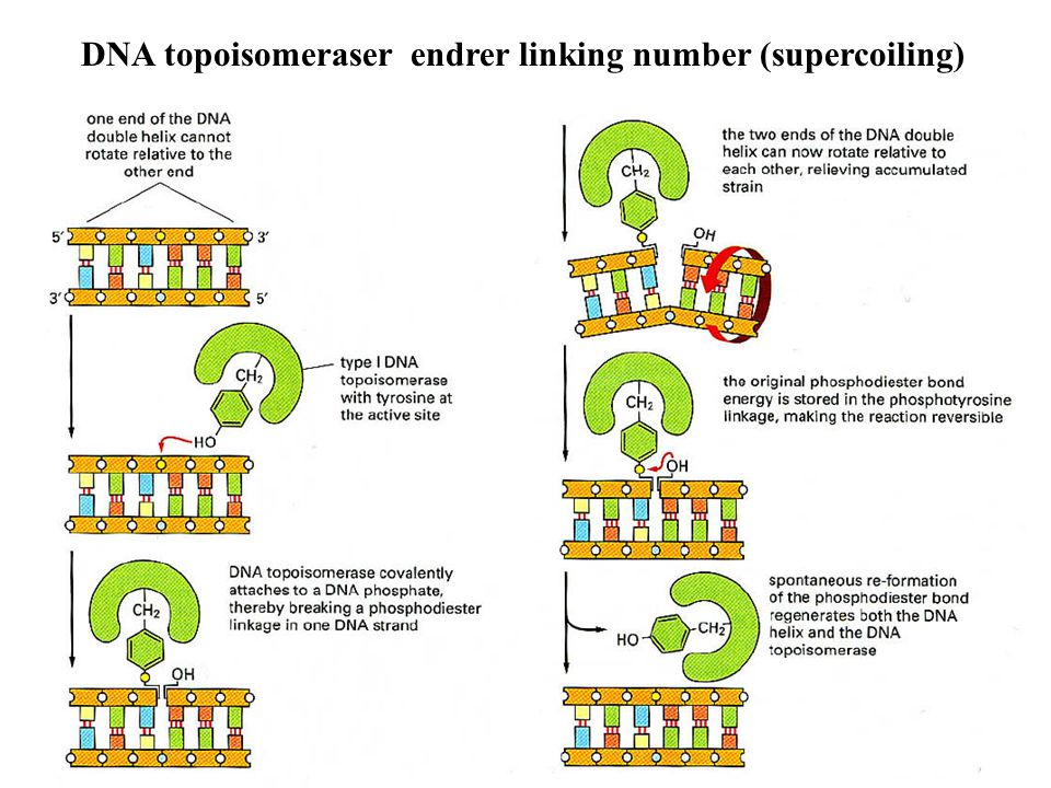 DNA topoisomeraser endrer linking number (supercoiling)